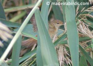 Reed Warbler (<i>Acrocephalus scirpaceus</i>)