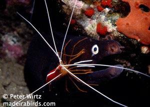 Black moray
