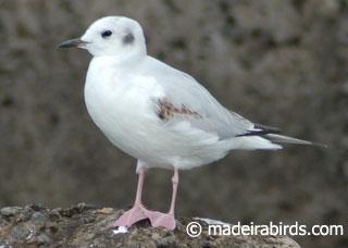 Bonaparte's Gull <i>Larus philadelphia</i>