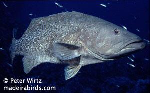 Comb grouper