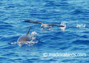 Cory's Shearwater & Stripped Dolphin