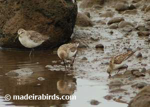 Dunlin, Curlew Sandpiper and Little Stint