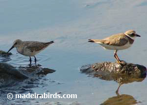 Dunlin and Ringed Plover
