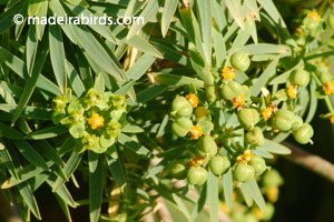 Smooth Spear-Leaved Spurge