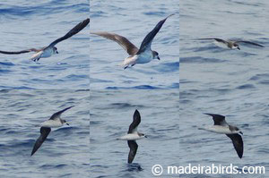 Zino's and Feas's Petrels