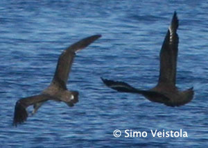 Cory Shearwater and Great Skua