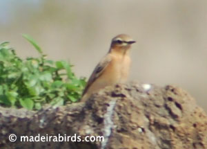 Wheatear, Greenland and Iceland subspecies?