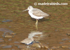 Greenshank and a Dunlin