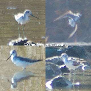 Greenshank and Marsh Sandpiper