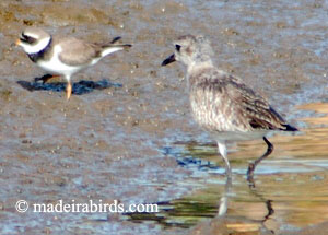 Grey and Ringged Plovers