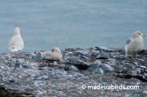 Iceland Gulls