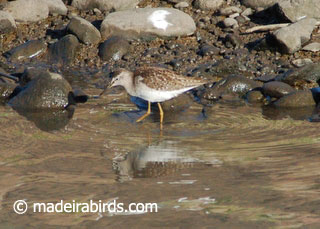 Lesser yellow legs <i>Tringa flavipes</i>
