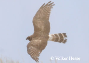 Montagu's or Pallid Harrier?