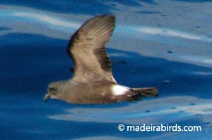 Madeiran Storm-petrel