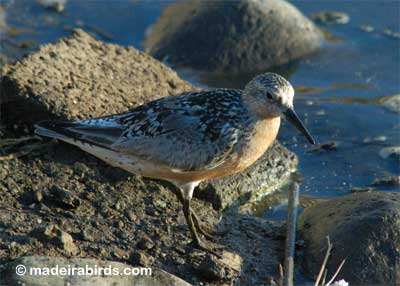 Red Knot at Lugar de Baixo