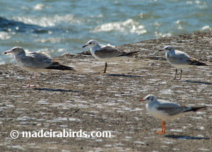 Ring-billed, Laughing, Mediterranean and Black-headed gulls