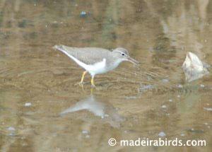 Spotted Sandpiper (<i>Actitis macularia</i>)