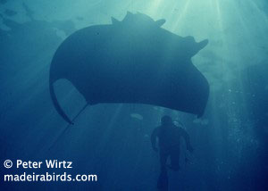 Small devil ray