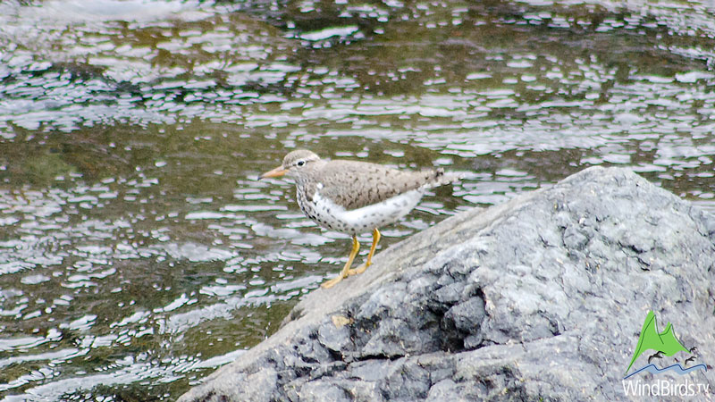 Spotted Sandpiper in Madeira