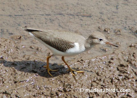 Spotted Sandpiper at Lugar de Baixo Pond