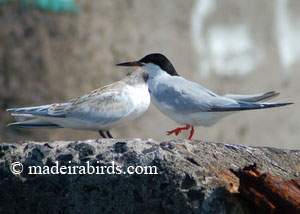 Roseate Terns - adult and juvenile