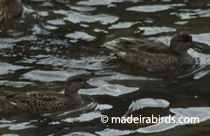 Common and Green-wing Teals