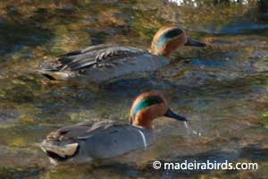 Teal & Green-winged Teal