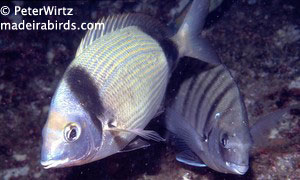 Two-banded bream