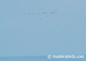 Whimbrels migrating