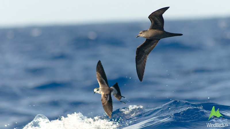 white faced storm petrel bulwers petrel