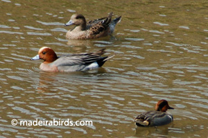 Wigeons and Green-wing Teal
