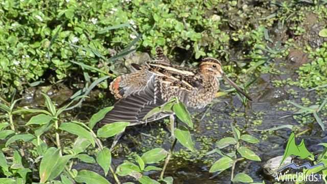 "Wilson's Snipe - first record for Madeira archipelago!""></a></p>