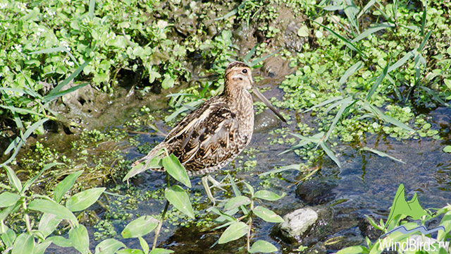 Wilson's Snipe - first record for Madeira archipelago!
