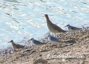 wood sandpiper, sanderlings and ruff