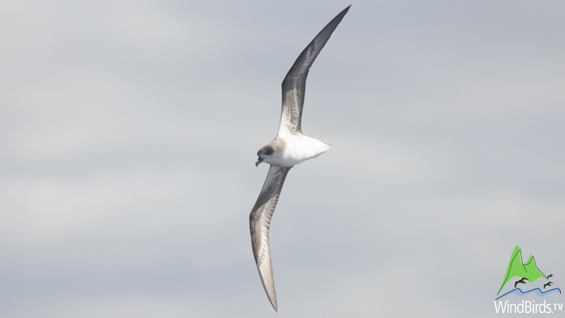 Zino's Petrel at sea during Madeira pelagics